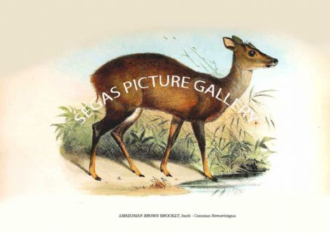Fine art print of the AMAZONIAN BROWN BROCKET, buck - Coassus Nemorivagus by Zoological Society of London -Animals 1848-60